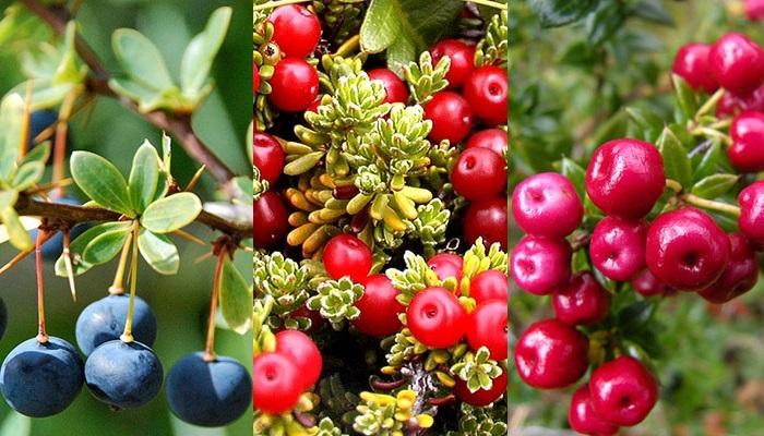 ягоды Патагонии